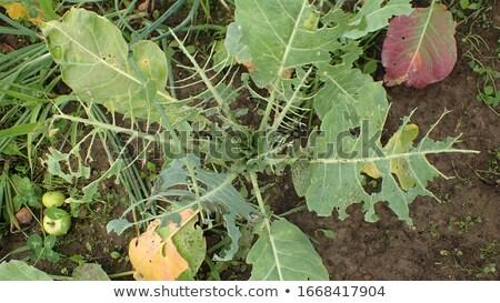 lagartas · repolho · borboleta · macro · natureza · planta - foto stock © smartin69