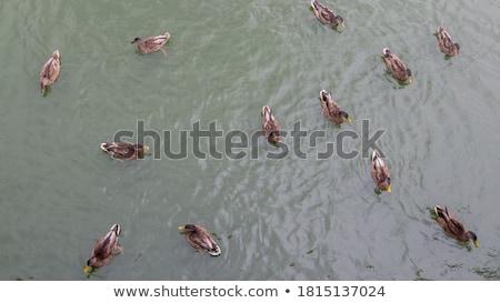 Staw trzy pływanie mały trawy miasta Zdjęcia stock © PetrMalyshev