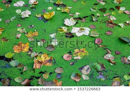 Autumn leaves fallen on pond covered with green duckweed  Stock photo © AlessandroZocc