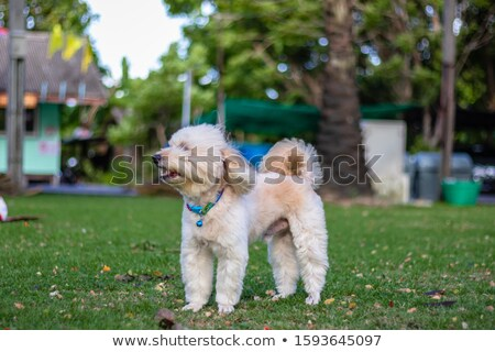 portrait of brown dog standing and relaxing on grass field Stock photo © FrameAngel