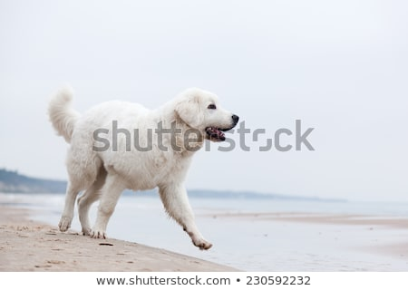 cute white dog walking on the beach polish tatra sheepdog stock photo © photocreo