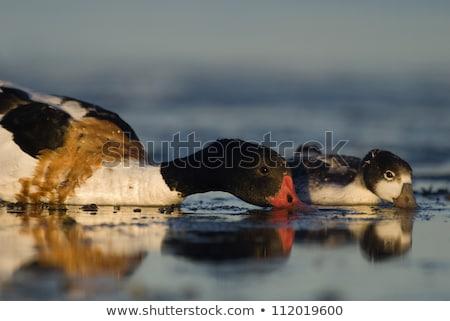 Shelduck Duckling Stock photo © zambezi