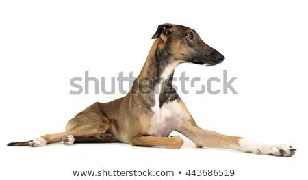 Foto stock: Traçar · desfrutar · foto · tiroteio · estúdio · cão