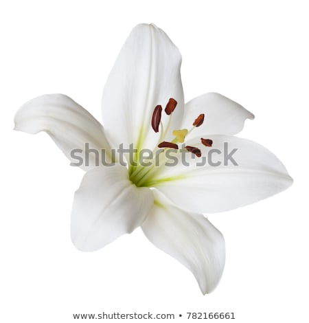 Lily flower macro Stock photo © raywoo