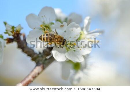 Camomila flor pequeno erros detalhes natureza Foto stock © mady70
