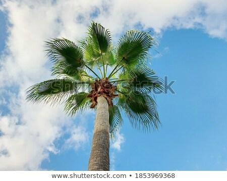 Hurma ağacı mavi gökyüzü yer metin gökyüzü ağaç Stok fotoğraf © stefanoventuri
