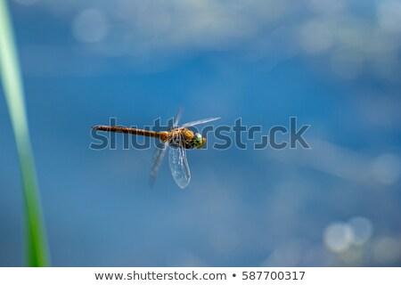 макроса · фотография · Dragonfly · Flying · воды · цветок - Сток-фото © AlisLuch