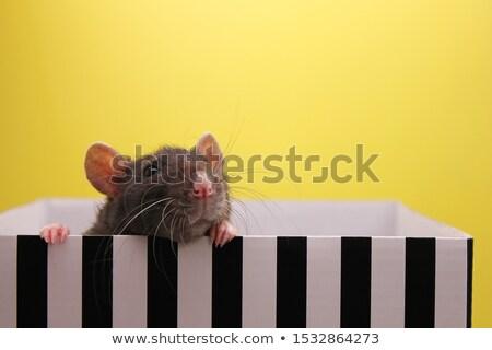 white rat peeking out of the box  Stock photo © OleksandrO
