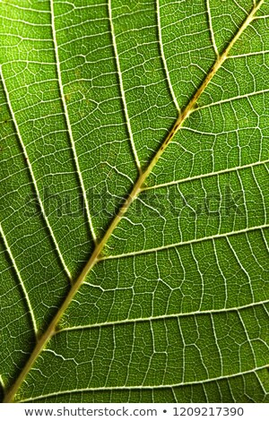 Macro photo of the back side of a green leaf with streaks. Leafy natural pattern. Top view Stock photo © artjazz