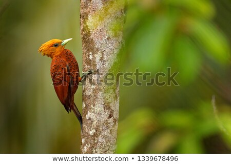 Colorful forest bird, woodpecker sitting on tree, isolated Stock photo © MarySan