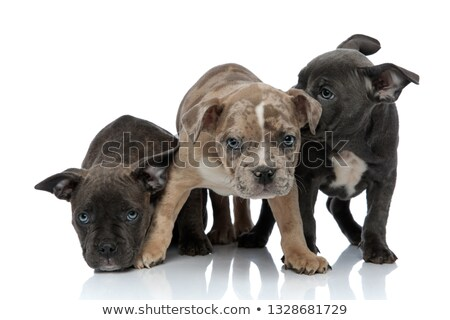 3 American bully dogs sitting and standing together being shy Stock photo © feedough