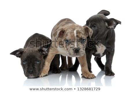 Americano cães sessão em pé juntos tímido Foto stock © feedough