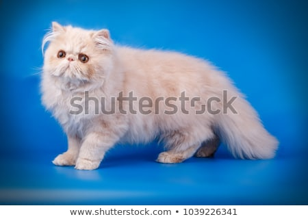 Bolyhos krém perzsamacska kiscica ül egyenes Stock fotó © CatchyImages