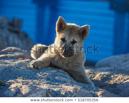 Greenland dog sled and husky sled dog puppy in Ilulissat Greenland Stock photo © Maridav