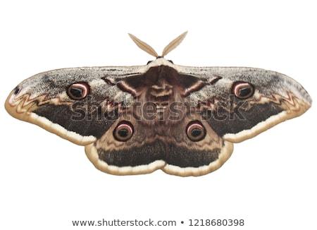 giant brown peacock moth on a white background Stock photo © galitskaya