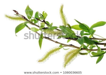 flowering willow branch stock photo © mayboro