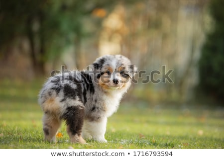 Cute Little Australian Shepherd Puppy Dog Stock photo © StephanieFrey