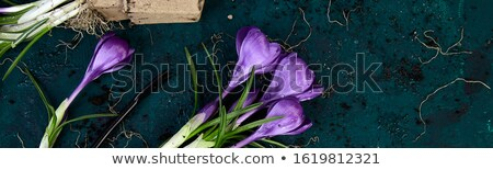Banner with Gardening tools, peat pots, crocus flower. spring Stock photo © Illia
