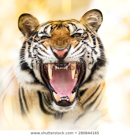 Snarling tiger Stock photo © Clivia