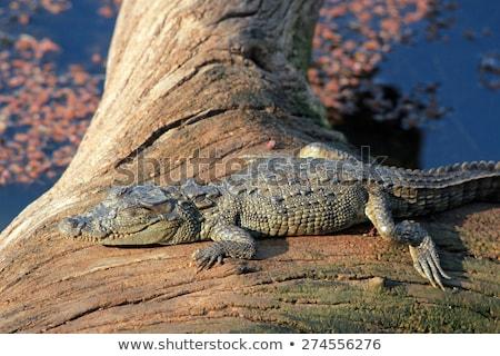 Snub Nosed Marsh Crocodile mugger crocodile Crocodylus palustris Stock photo © dmitry_rukhlenko