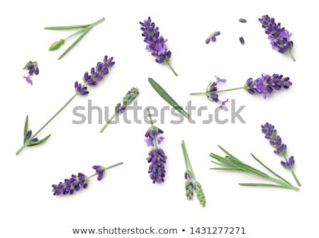 lavanda · isolado · ervas · tempero - foto stock © digoarpi