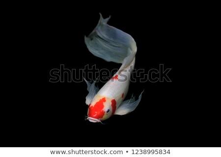 Koi poissons mouvement eau groupe animaux Photo stock © Galyna