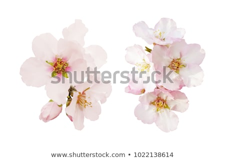 Stock photo: Bunches of cherry blossom.