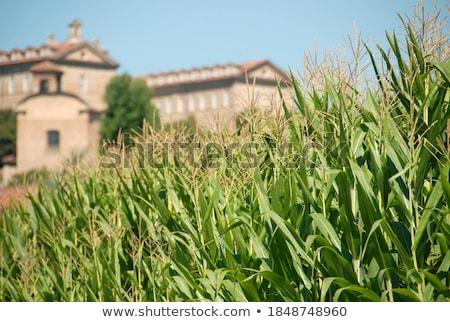 Rijstveld Italië natuur plant rijst buitenshuis Stockfoto © phbcz