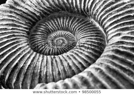 Ancient snail spiral fossil detail Stock photo © lunamarina