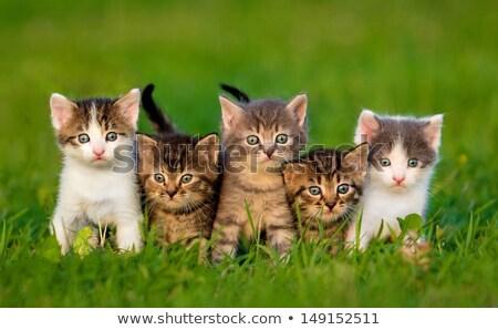 çok güzel kedi yavrusu arama fare kedi hayvan Stok fotoğraf © grivet