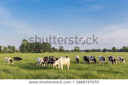 фермер · области · коров · молодые · пейзаж · зеленый - Сток-фото © kawing921