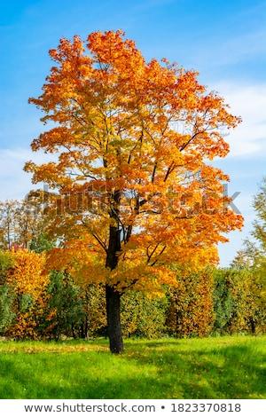 ramo · carvalho · vermelho · folhas · laranja - foto stock © lianem