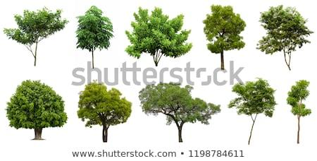 Hatalmas izolált fa öreg erdő természet Stock fotó © Freezingpictures