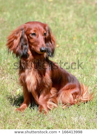 dachshund standard long haired red dog stock photo © capturelight