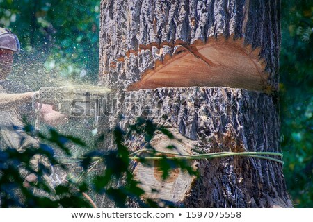 logs from giant tree with chainsaw Stock photo © yanukit