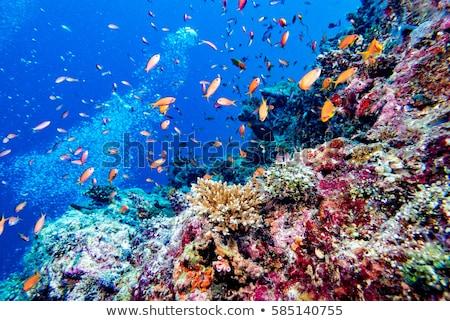 коралловые подводного Мальдивы острове красивой красочный Сток-фото © Anna_Om