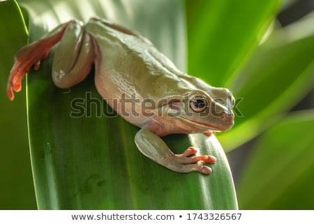 béka · mászik · bambusz · közelkép · levelibéka · izolált - stock fotó © clearviewstock