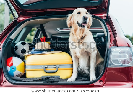 Лабрадор собака автомобилей лице природы волос Сток-фото © Dserra1