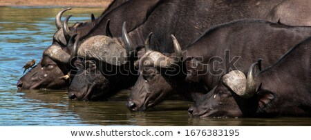 wild animal in kruger national parc Stock photo © compuinfoto