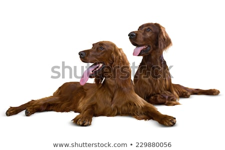 Irish red and white setter couple stock photo © Ximinez