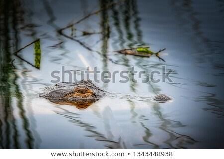 Vier groot amerikaanse krokodillen liggen water Stockfoto © OleksandrO