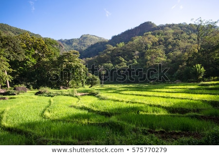 Montana paisaje arroz plantación Sri Lanka hermosa Foto stock © Mikko
