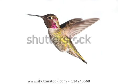 女性 · ハチドリ · ホバリング · 飛行 · 春 · 夏 - ストックフォト © backyard-photography