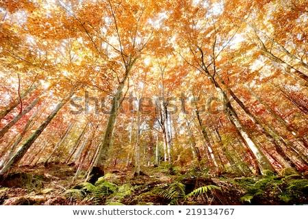Kırmızı eğreltiotu sonbahar orman manzara eğrelti otları Stok fotoğraf © Kotenko