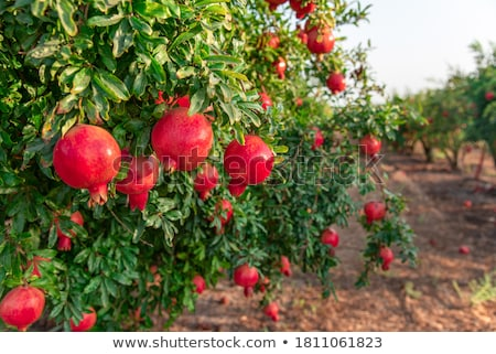 ザクロ ツリー 果物 フルーツ 庭園 背景 ストックフォト © deyangeorgiev