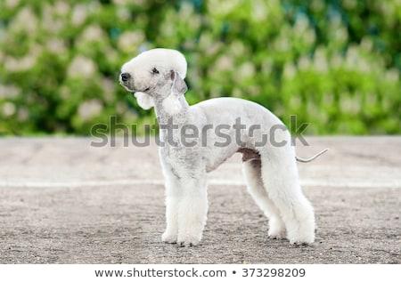 white dog the bedlington terrier stands in the summer stock photo © goroshnikova