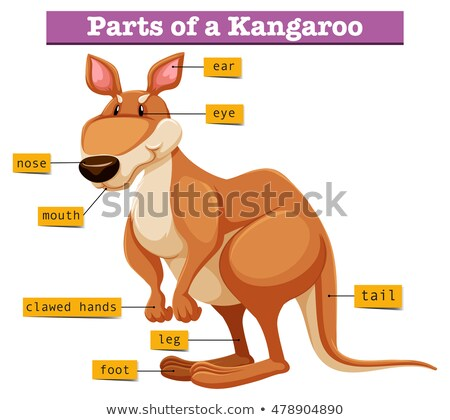 Diagram showing different parts of Kangaroo Stock photo © bluering