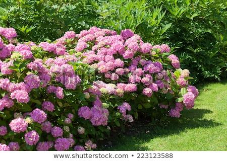 Arbusto rosa água fundo verão Foto stock © OleksandrO