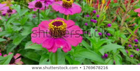 A pink sunflower Stock photo © bluering
