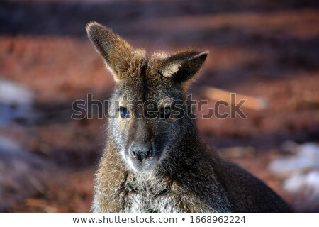 red necked wallaby in snowy winter stock photo © artush